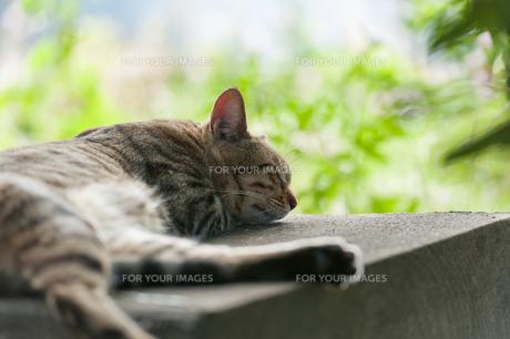 猫の昼寝 FYI00100909