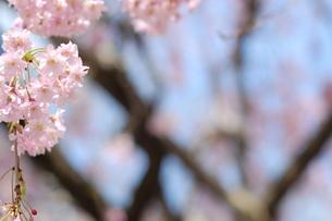 青空の下の、桜の花 FYI00101352