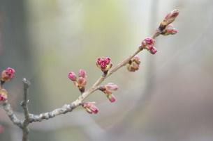 桜のつぼみ FYI00101355