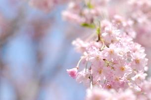 青空の下の、桜の花 FYI00101369
