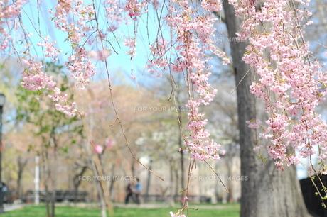 公園の桜の木 FYI00101377