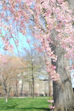 公園の桜の木 FYI00101378