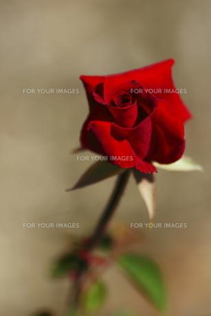 一輪の赤い薔薇 FYI00105615