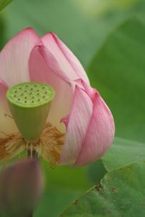 蓮の花 FYI00105725