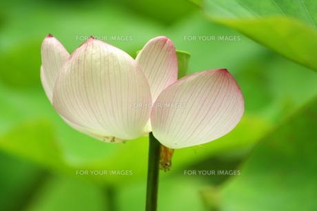 蓮の花 FYI00105728