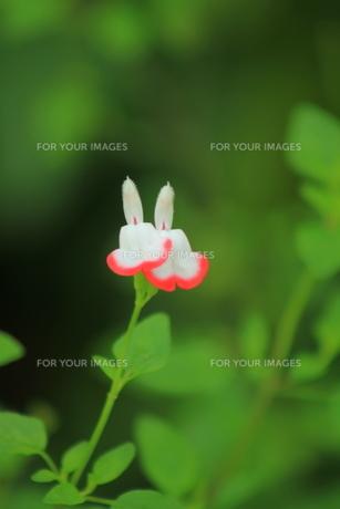 うさぎ花 FYI00105745