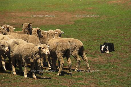 羊イヌ FYI00107935