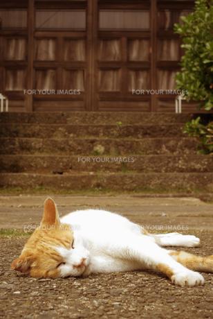 境内で昼寝をする猫 FYI00108793