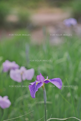 紫色の菖蒲 FYI00108844