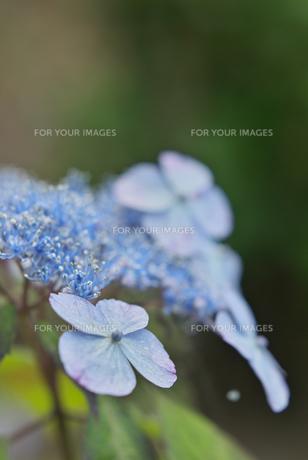 薄紫の紫陽花 アップ FYI00108870