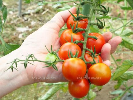 トマトを収穫する FYI00108959