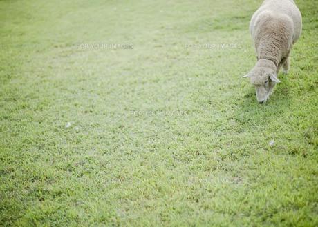 草原の羊 FYI00111013