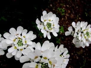 自宅庭にて越冬して咲くイベリスブライダルブーケ FYI00112887