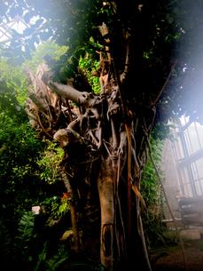 がじゅまるの樹の素材 [FYI00112888]