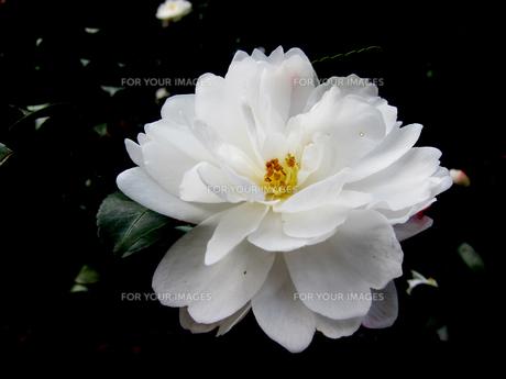 白い山茶花の花の素材 [FYI00112890]
