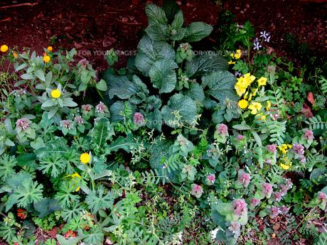 自宅庭縁の下前に自生する春の草花 FYI00112891