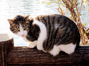 池の手すりに乗る猫 FYI00112893