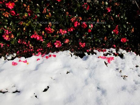 雪の上に落ちる花びらと椿の生垣 FYI00112894