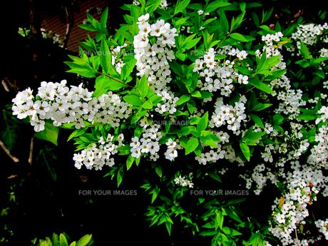ユキヤナギの花の素材 [FYI00112895]