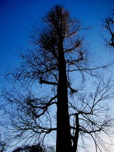 夕方近い時刻の冬木立の素材 [FYI00112903]