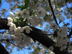 善福寺川緑地にて、晴天に咲く桜 FYI00112907