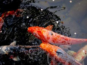 大田黒公園の池を泳ぐ鯉の素材 [FYI00112910]