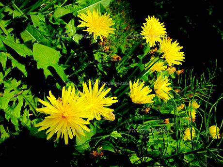 野川公園に咲くカントウタンポポ FYI00112912