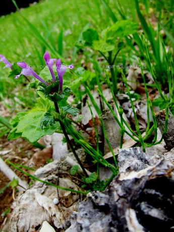 ホトケノザの花の素材 [FYI00112915]