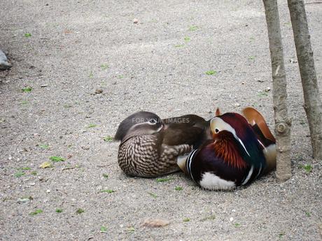 見つめ合う雄と雌のおしどり(井の頭動物園にて撮影、写真販売了解済み) FYI00112921