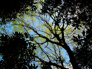青空と新緑と木と葉の陰の素材 [FYI00112922]