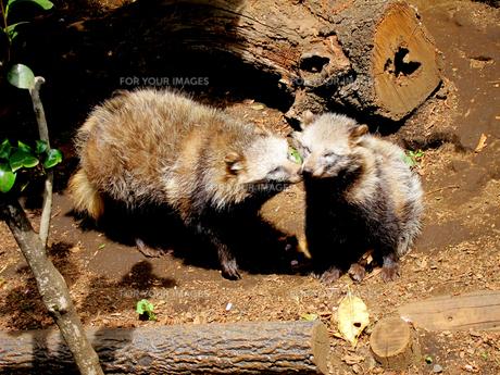 2匹のホンドタヌキ(井の頭動物園にて撮影写真販売了解済) FYI00112931