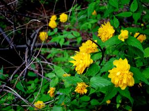 山吹の花の素材 [FYI00112939]
