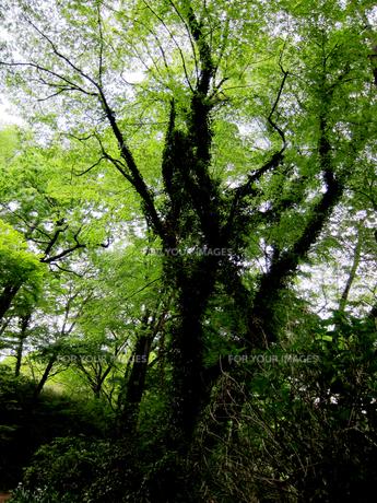 つる植物の絡まった大木 FYI00112940
