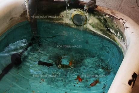 お風呂の水槽に金魚 FYI00112968