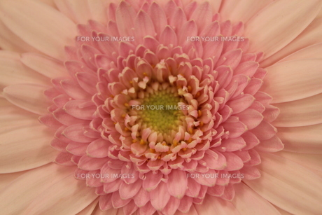 ピンクのガーベラ FYI00113963