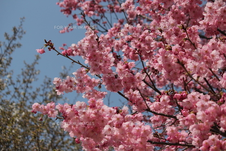 八重桜 FYI00113994