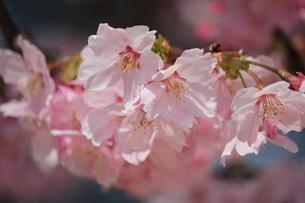 桜 FYI00113995