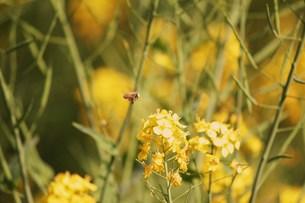 菜の花と蜂 FYI00114001