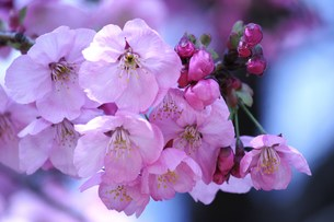 桜 FYI00114027