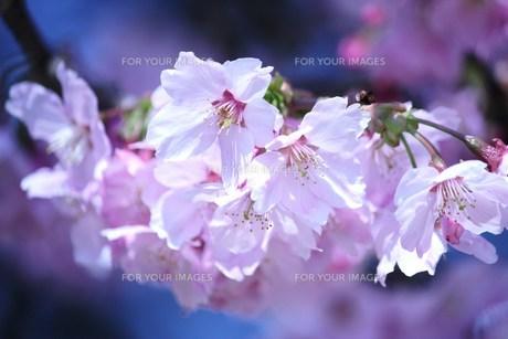 桜 FYI00114034
