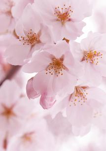 桜-1 FYI00114316