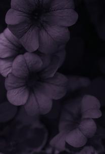 紫の花 FYI00114321
