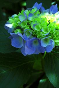 紫陽花-1 FYI00114324