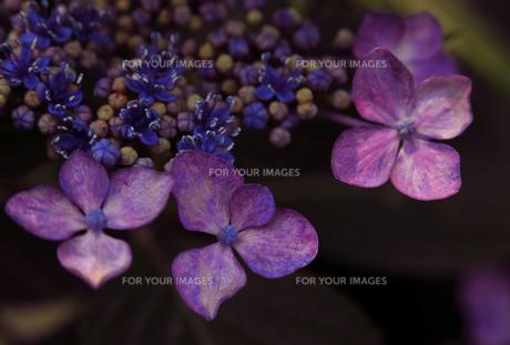 紫陽花-3 FYI00114331