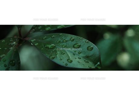 雨に濡れる葉-3 FYI00114364