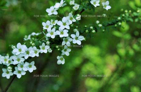 白い花-2 FYI00114365