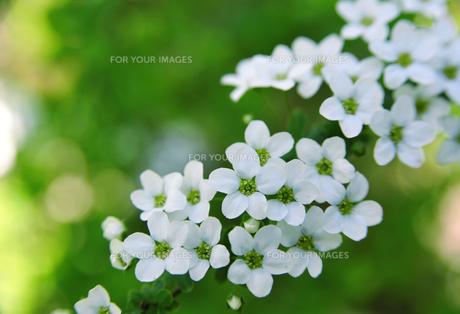 白い花-5 FYI00114367