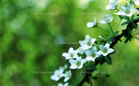 白い花-3 FYI00114376