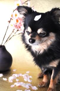 桜とチワワ FYI00114427