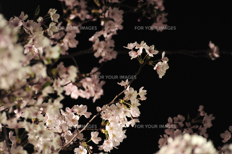 夜桜1 FYI00115568